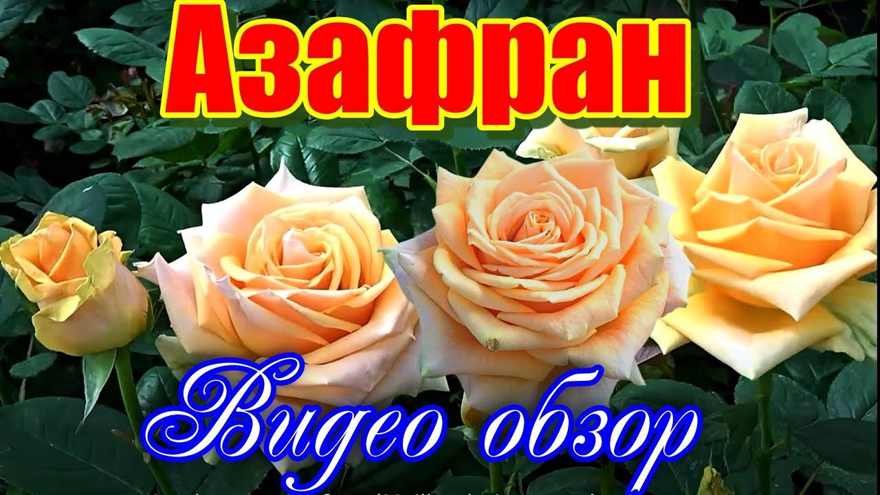 роза азафран фото и описание