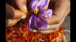 Nhụy hoa nghệ tây - Saffron có thật sự thần thánh không mà chị em nào cũng rủ nhau mua về làm đẹp?