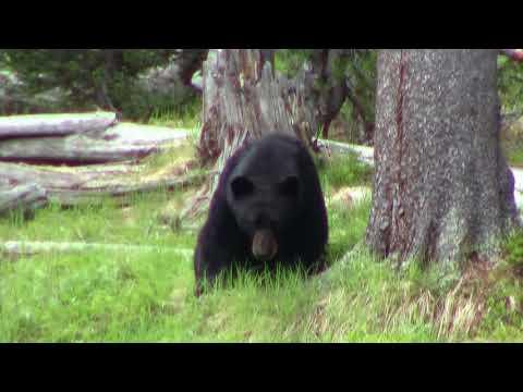 Yellowstone Bear 2018