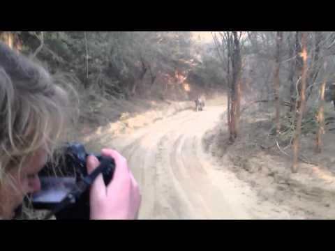 Tiger Safari - Tiger Chase / Attack Jeep in India's Ranthambore National Park