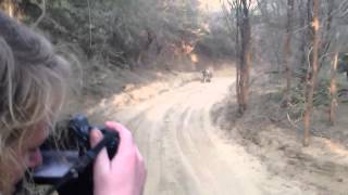 Tiger Safari - Tiger Chase / Attack Jeep in India's Ranthambore National Park