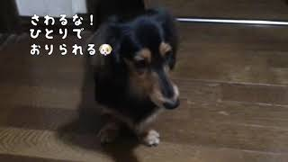 【Dog】のぼるのは好きだが降りられない Like to go up stairs, but can't go down