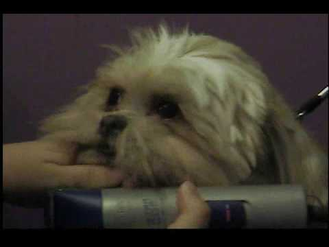 Shih Tzu Groom Bella Round Teddy Bear Face Youtube