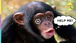 ОБЕЗЬЯНА ПРОСИТ О ПОМОЩИ. УНИКАЛЬНЫЕ СПОСОБНОСТИ. Smart monkeys