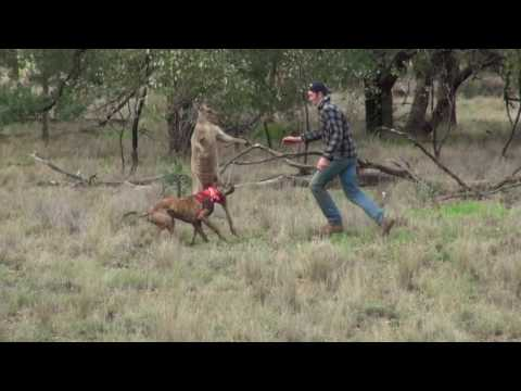Man punches a kangaroo in the face Australia's best!!!