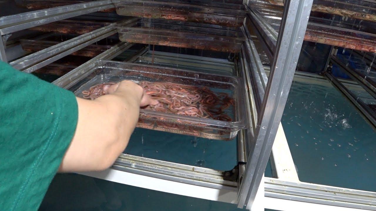 낚시용 갯지렁이 대량생산 공장발견