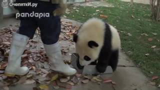 Панды- хулигашки (милые существа)!