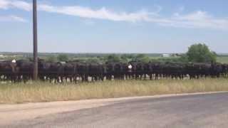 Loose Baby Calf - Pressure & Release - Herd Draw - Bull TCB - Rick Gore Horsemanship