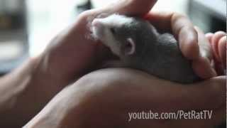 World's Cutest Baby Rat Being Held and Patted
