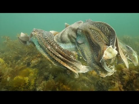 Giant Cuttlefish Spawning Aggregation