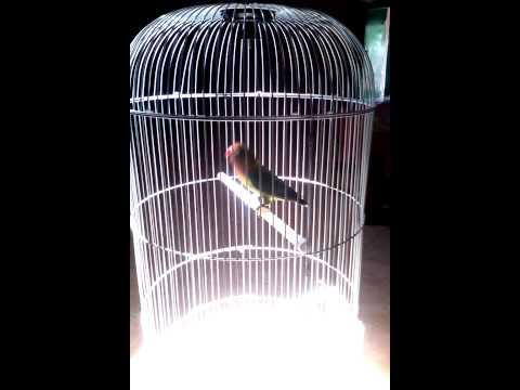 Jenis Dan Sosok Burung Love Bird Paling Laris Manis Di Pasaran