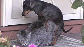 [HD] Wonderful Cats and dogs loving each other - Funny dogs and cats #P17