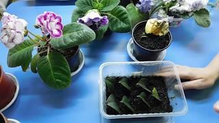 видео Фикус уход и выращивание