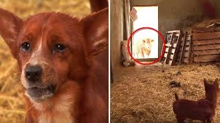 sad-pup-separated-from-cow-who-raised-him-camera-captures-tear-jerking-moment-they-reunite-again