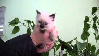 Бирманский котенок Лайма Биди
