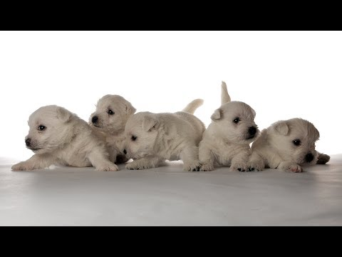 West Highland White Terrier puppies 1 month old - www.westie.me