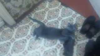 Кошка в течке(Проявление охоты у кошек в состоянии течки., 2015-04-23T05:10:52.000Z)