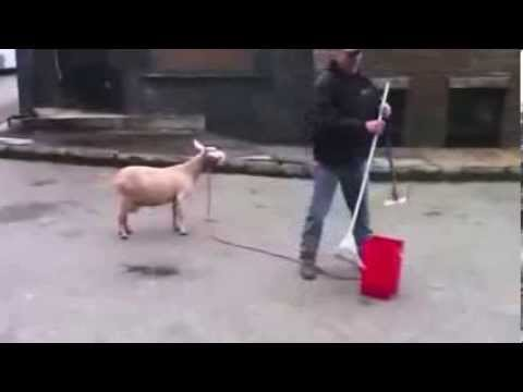 Смешные козы — картинки |