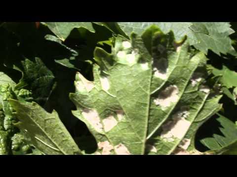 Виноград полезные свойства и применение винограда