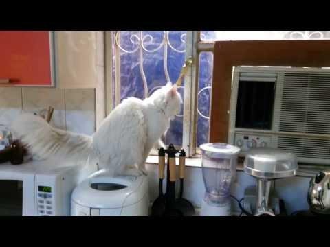 turkish angora cat vs outside cats