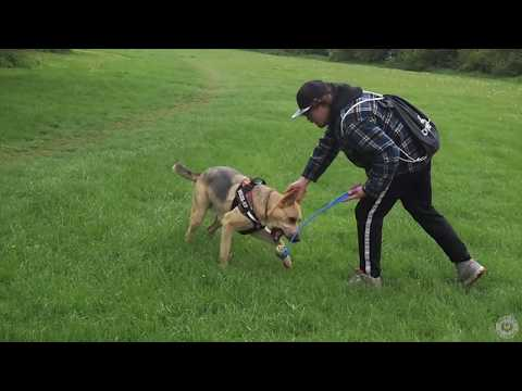 A SHEPSKY MEETS A RHODESIAN RIDGEBACK PUPPY FOR FIRST TIME!