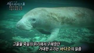 [서프라이즈] 바다에 12톤짜리 소가 산다고?! 인간들의 무자비함에 결국...