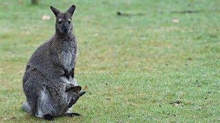 В Голубых горах Австралии увеличивается численность редких валлаби  (новости)