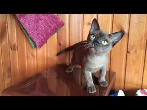 European Burmese kitten, brown boy / Европейская Бурма, котенок соболиного окраса