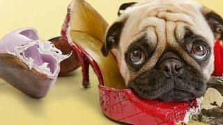 Собака ворует и портит вещи. Что делать? Воспитание без насилия. Метод Пола Оуэнса.(Собака ворует и портит вещи. Что делать? Воспитание без насилия. Метод Пола Оуэнса. Щенки, как и дети, любят..., 2015-08-05T14:00:01.000Z)