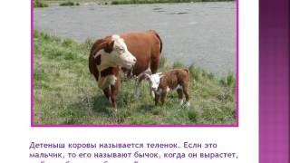 Презентация для детей.  Домашнее животное. Корова