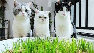 惊了!猫屎盆里居然长猫草了!猫:好吃真香,就是味儿有点怪......