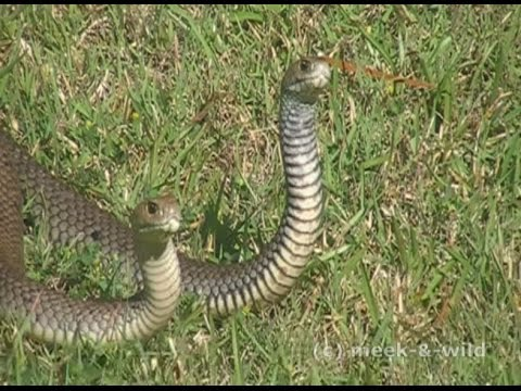 Massive Eastern Brown Snakes fighting at my back door (Highlights)