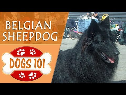 Dogs 101 - BELGIAN SHEEPDOG - Top Dog Facts About the BELGIAN SHEEPDOG