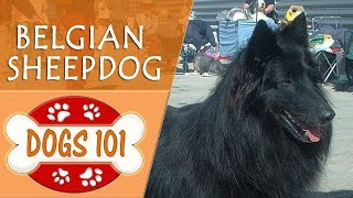 Dogs 101  BELGIAN SHEEPDOG  Top Dog Facts About the BELGIAN SHEEPDOG