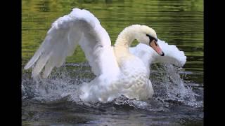 Лебедь белая.. Ю. Михальчик