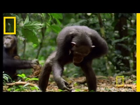 Chimps & Tools | National Geographic