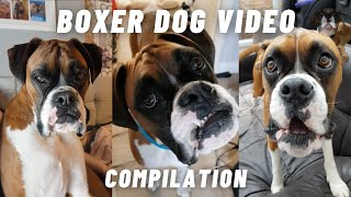 FUNNY & CUTE BOXER DOG VIDEOS COMPILATION