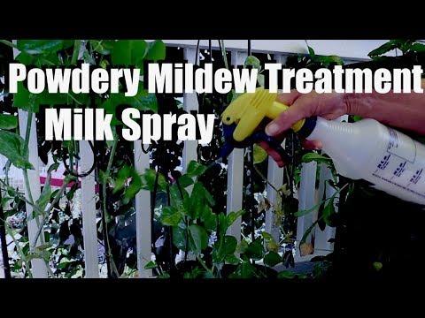 How to Treat Powdery Mildew on Peas & Other Vegetables Using Milk Spray, Saving Pea Seeds - 동영상