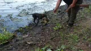 Polowanie na Kaczki. 5-cio miesięczny Wachtelhund i jego pierwszy aport