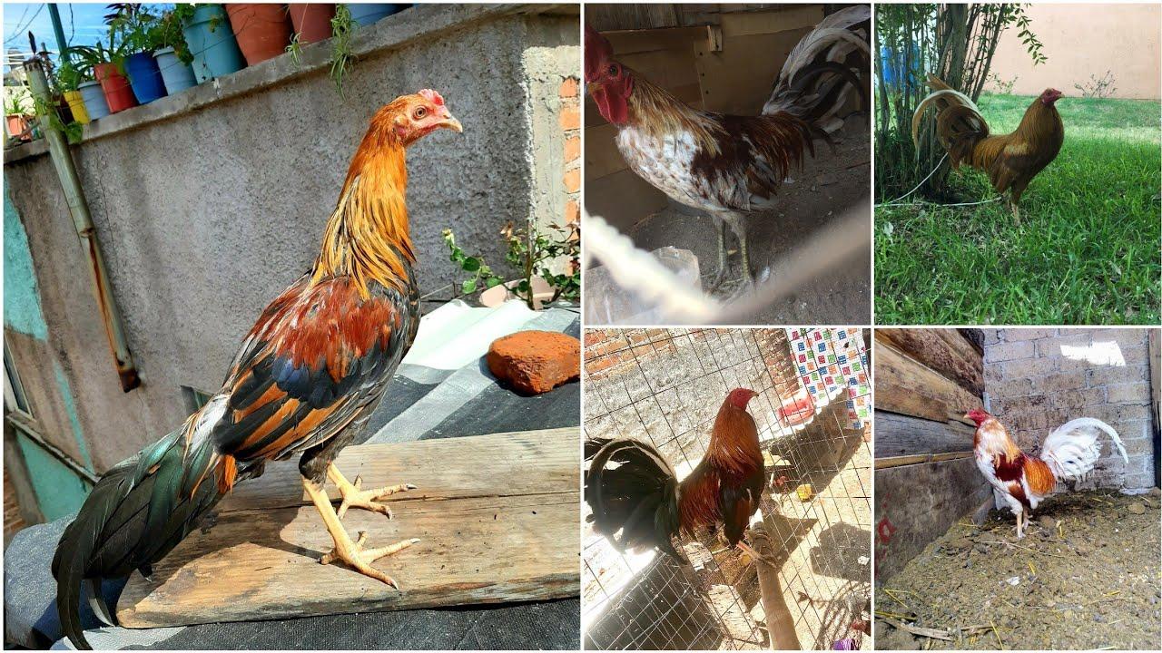 los ejemplares de mis amigos|| los mejores gallos de mis suscriptores#7