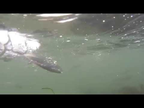 Slo Mo Underwater Mackerel Attack, Colwyn Bay Prom
