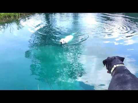 Turley Gleason Fuller - Great Pyrenees pup, retrieving and swimming!