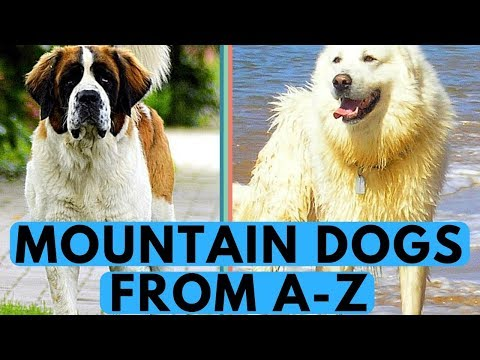 All Mountain Dog Breeds List (from A to Z)