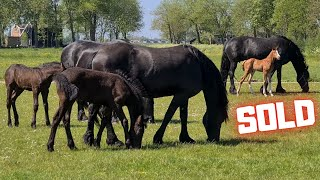 Sold to a beautiful new home! And afraid of the tractor! | Friesian Horses