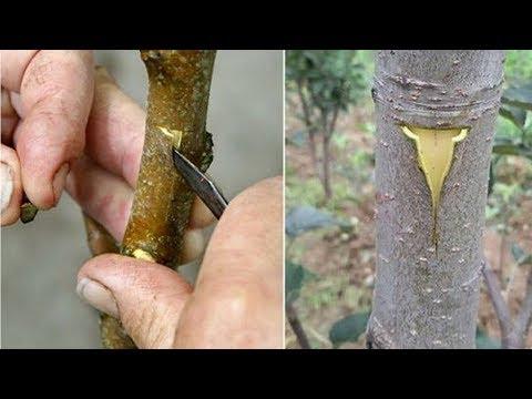 САМАЯ ПРОСТАЯ, но ОЧЕНЬ эффективная ПРИВИВКА плодовых деревьев