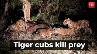 Madhya Pradesh: Four tiger cubs in Panna Tiger Reserve survive without their mother