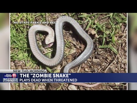 Zombie Snake Plays Dead Until You Touch It