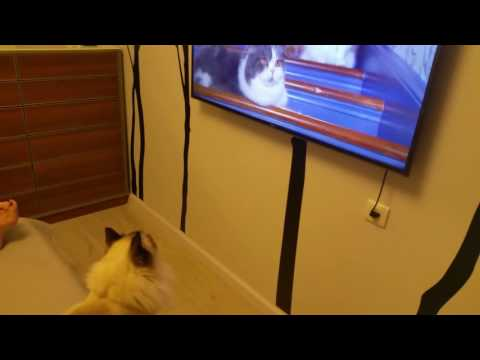 My Ragdoll cat watches TV