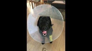 YLVIS. Crazy labrador puppy turbo mode! LOVE★ LABRADORS ARE AWESOME