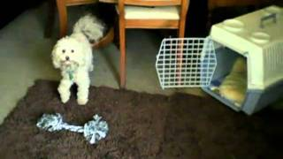 Obedient Labradoodles